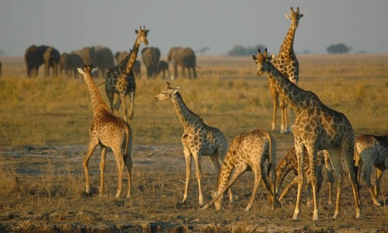 Chobe National Park Giraffe Herd