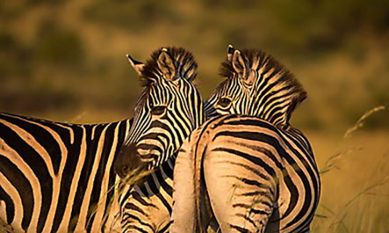 Kruger National Park South Africa Zebra