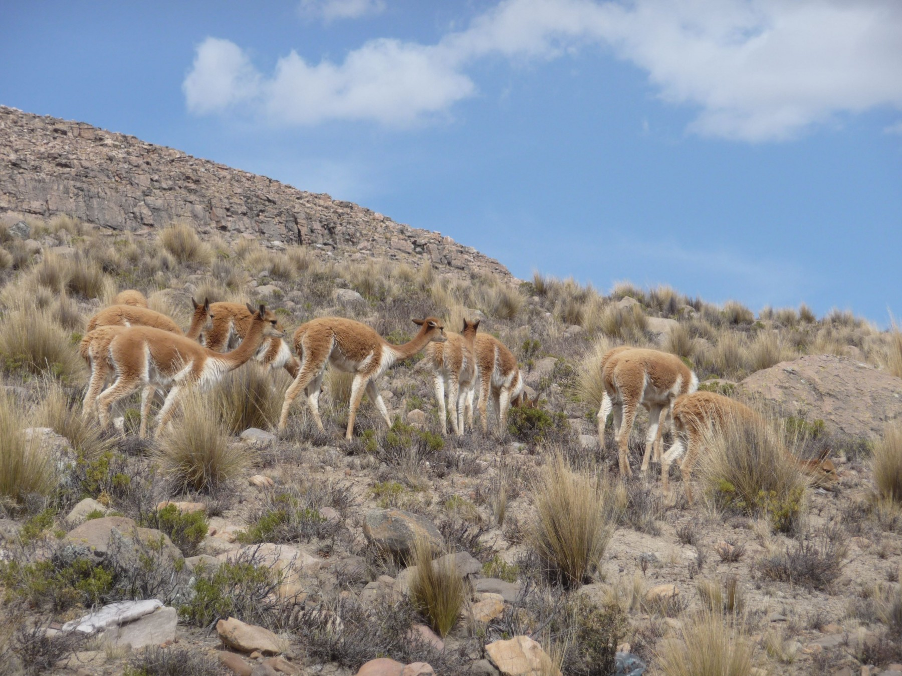 Vicunas in the Andes, Peru